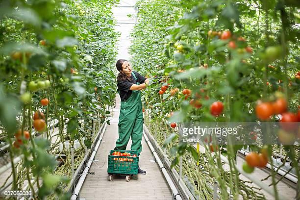female farm worker picking ripe tomatoes - gewächshäuser stock-fotos und bilder