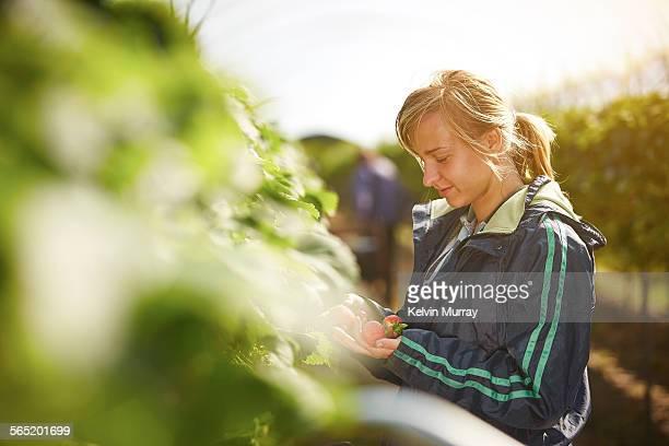 A female farm worker picks strawberries