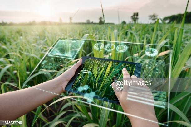 female farm worker using digital tablet with virtual reality artificial intelligence (ai) for analyzing plant disease in sugarcane agriculture fields. technology smart farming and innovation agricultural concepts. - sustainable lifestyle stock pictures, royalty-free photos & images