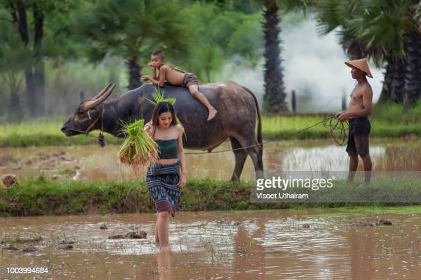 female farmer are using buffalo to plow. - parto natural imagens e fotografias de stock