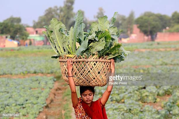 A female farmer carries a cauliflower basket on her head to sell at the local market early in the morning in Allahabad