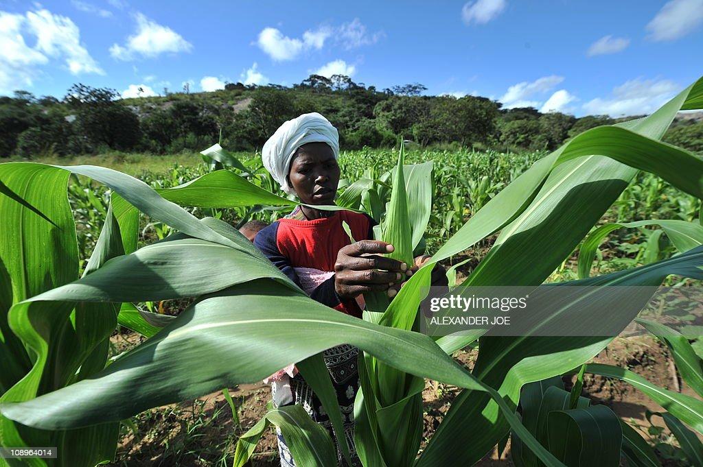 A female farmer checks maize on a small : News Photo