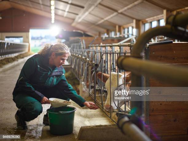 female farmer feeding calf in stable on a farm - livestock stock pictures, royalty-free photos & images