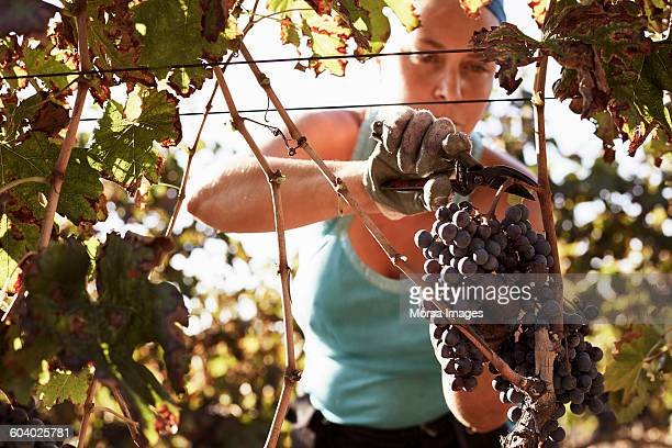 Female farmer harvesting fresh grapes