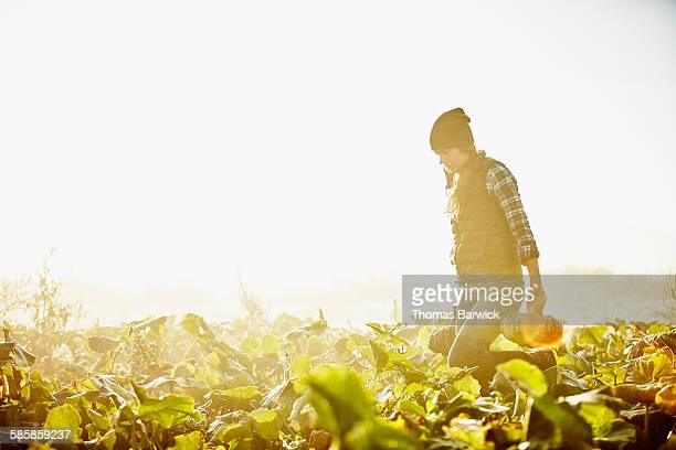Female farmer harvesting organic squash at sunrise