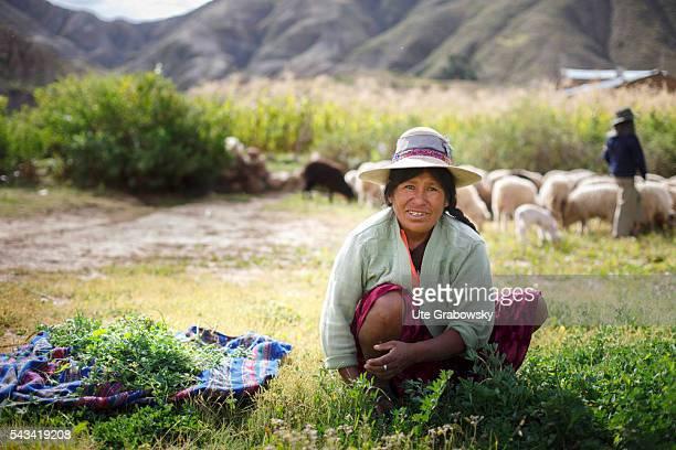 Female farmer harvests alfalfa a livestock feed in the Andes of Bolivia on April 15 2016 in Tawarchapi Bolivia
