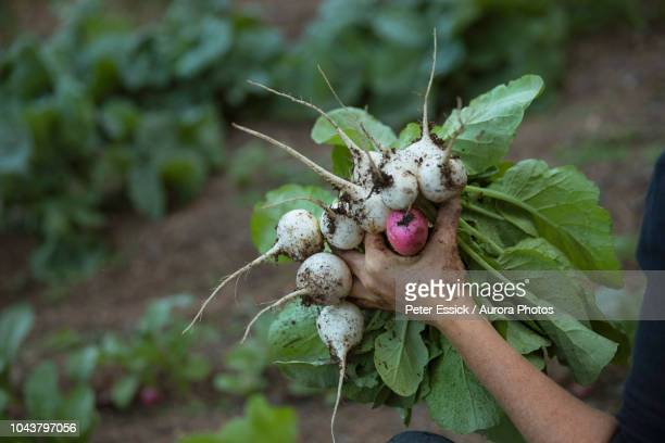 female farmer holding bunch of turnip - turnip stock pictures, royalty-free photos & images