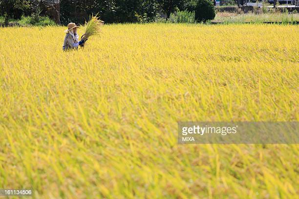 Female Farmer Holding Rice Ear and Standing in Rice Paddy in Autumn