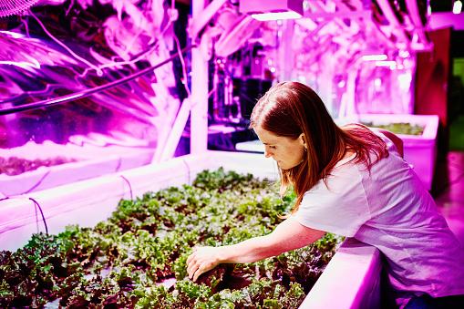 Female farmer in pink LED urban greenhouse - gettyimageskorea