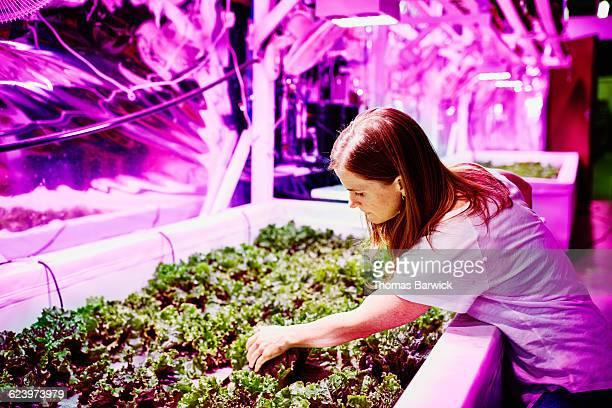 Female farmer in pink LED urban greenhouse