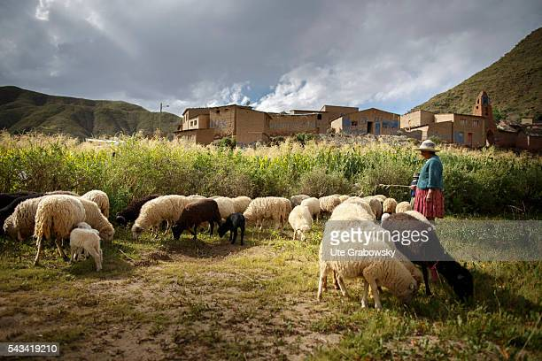 A female farmer is herding sheeps in the Andes of Bolivia on April 15 2016 in Tawarchapi Bolivia