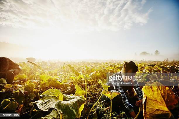 Female farmer kneeling harvesting organic squash