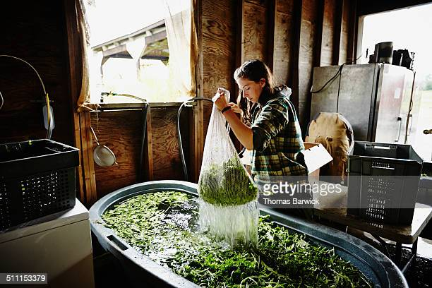 Female farmer lifting bag of greens from wash bin