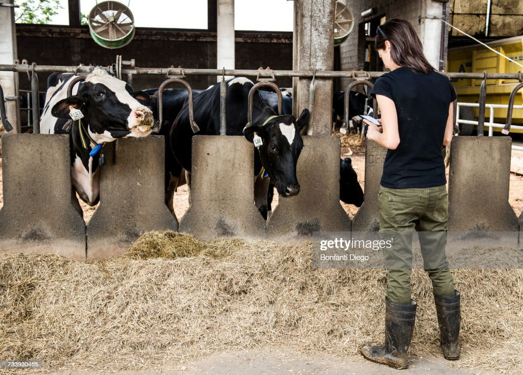 Female farmer looking at smartphone in organic dairy farm cow shed : Stock Photo