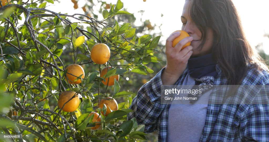 Female farmer picking oranges in orchard : Stock Photo
