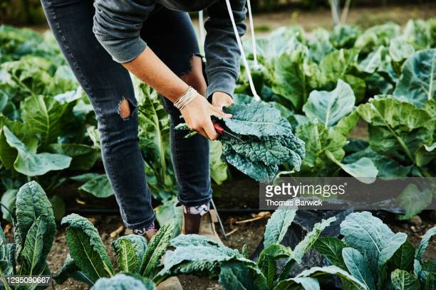 female farmer picking organic kale on summer morning - low section stock pictures, royalty-free photos & images