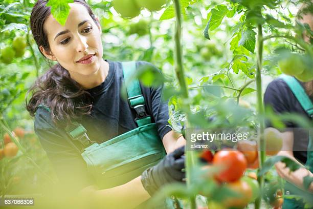 female farmer picking tomatoes in greenhouse - agricultural occupation stock pictures, royalty-free photos & images