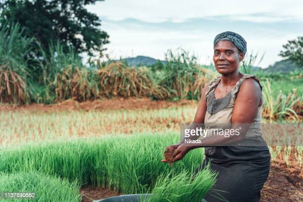 female farmer planting rice in africa, malawi - poor africans stock pictures, royalty-free photos & images