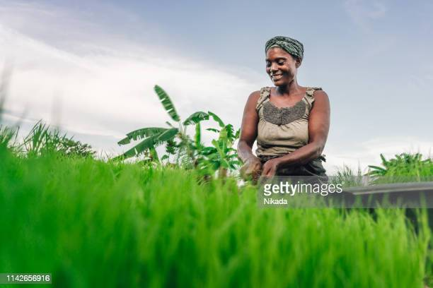 female farmer planting rice in africa, malawi - africa stock pictures, royalty-free photos & images