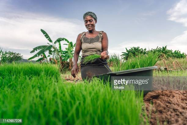 female farmer planting rice in africa, malawi - rice cereal plant stock pictures, royalty-free photos & images