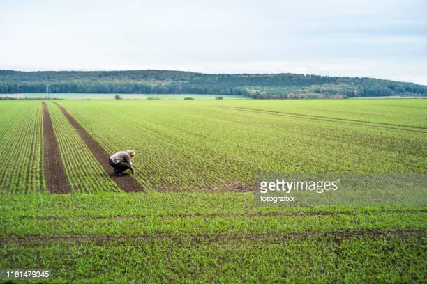 mujer agricultor a la que se desprende de la siembra del trigo de invierno - cultivo fotografías e imágenes de stock