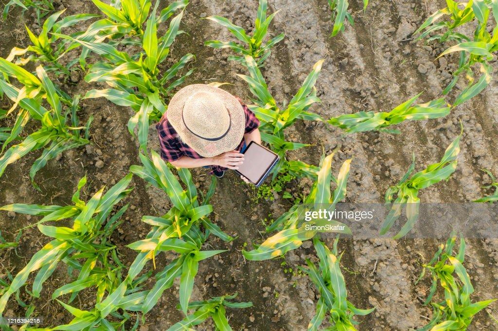 Agricultora usando pastilha no campo de milho. Vista de cima de uma agricultora em um chapéu de palha usando uma tábua em um campo de milho : Foto de stock