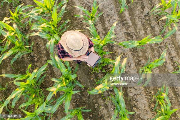 female farmer using tablet in corn field. view from above of a female farmer in a straw hat using a tablet in a corn field - agriculture stock pictures, royalty-free photos & images