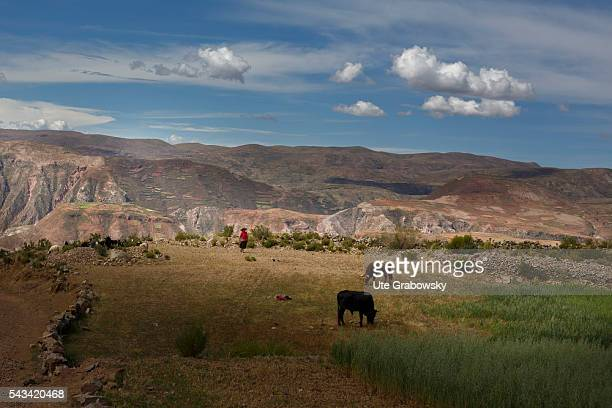 Female farmer with a herd of cows in the Andes of Bolivia on April 15 2016 in Tawarchapi Bolivia