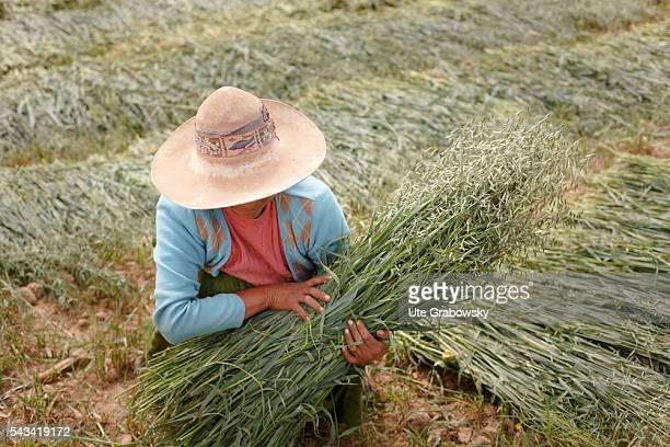 Female farmer with a sheaf of oats in the Andes of Bolivia on April 15 2016 in Sacaca Bolivia