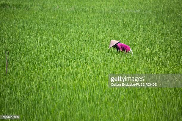 Female farmer working in paddy field, Lombok, Indonesia