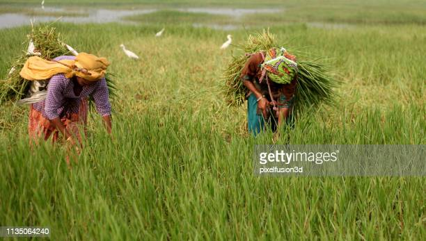 female farmer working portrait near green field - haryana stock pictures, royalty-free photos & images
