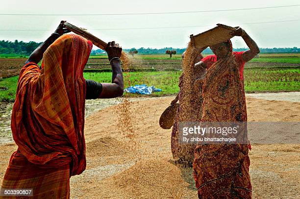 Female farmers dry rice and processed