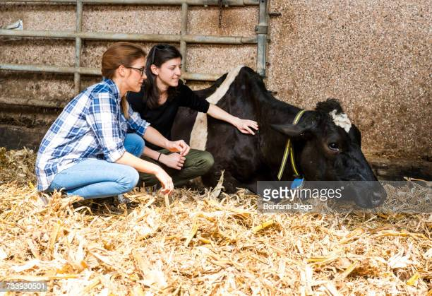 female farmers tending sick cow at organic dairy farm - dierenwelzijn stockfoto's en -beelden