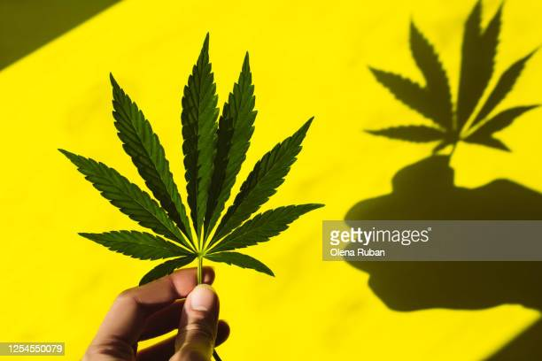 female fingers hold a beautiful hemp leaf in the sun - 麻 ストックフォトと画像