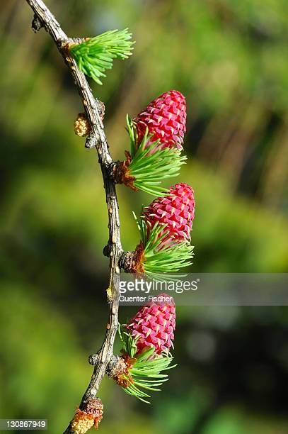 female flower european larch larix decidua - european larch stock pictures, royalty-free photos & images