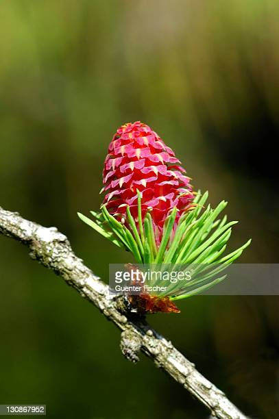 female flower european larch larix decidua - larch tree stock pictures, royalty-free photos & images