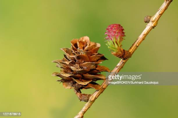 female flower of larch (larix decidua) with cones from the previous year, north rhine-westphalia, germany - european larch stock pictures, royalty-free photos & images