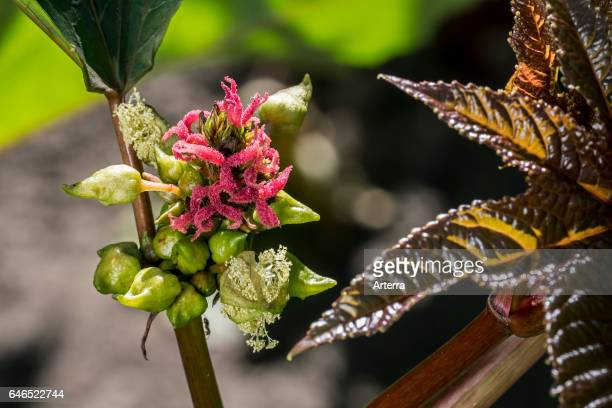 Female flowers of castorbean / castoroilplant indigenous to the southeastern Mediterranean Basin Eastern Africa and India