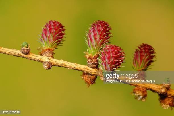 female flowers of larch (larix decidua), north rhine-westphalia, germany - european larch stock pictures, royalty-free photos & images