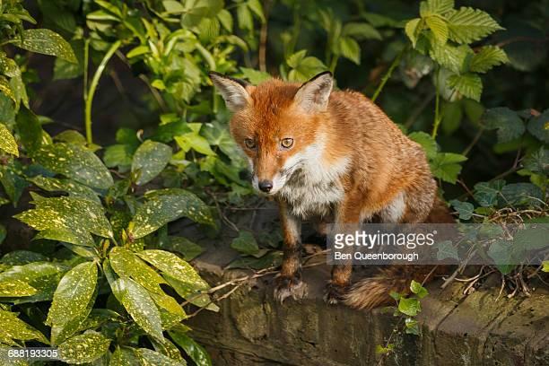 A female fox sits on a wall in an urban garden