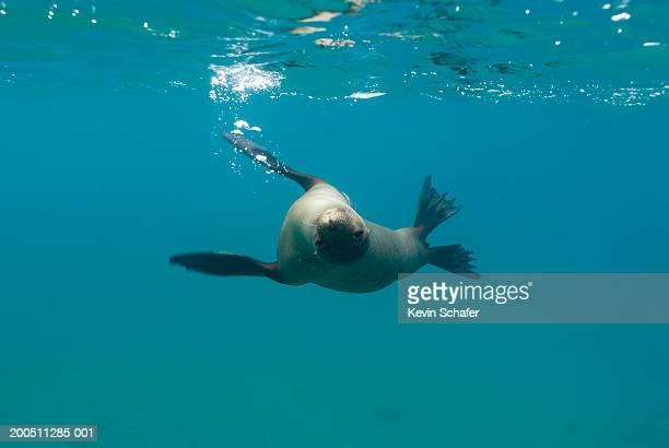 Female Galapagos sea lion (Zalophus californianus wollebaeki)