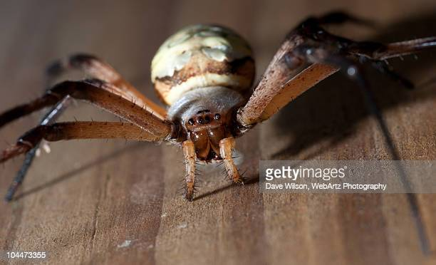 female garden spider - dave wilson webartz stock pictures, royalty-free photos & images