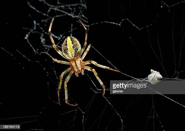 female garden spider with eggs sac - sac stock pictures, royalty-free photos & images