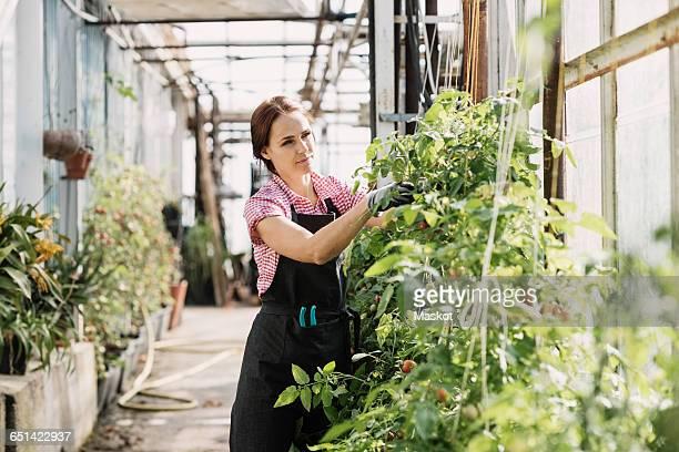 Female gardener checking plants in greenhouse