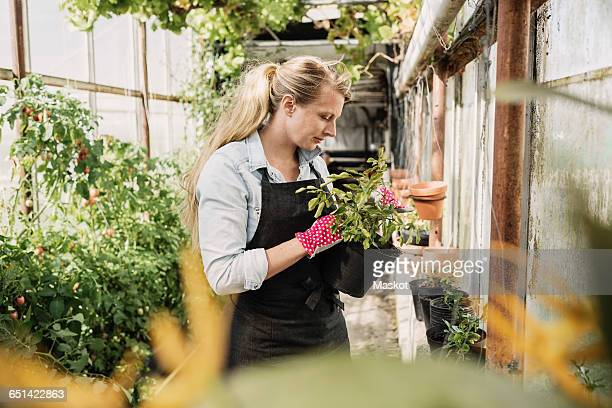 Female gardener examining leaves of plant in greenhouse