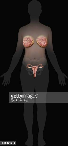 Female genital organs The female genital system essentially comprises the internal organs located in the pelvic cavity which is defined by the pelvic...