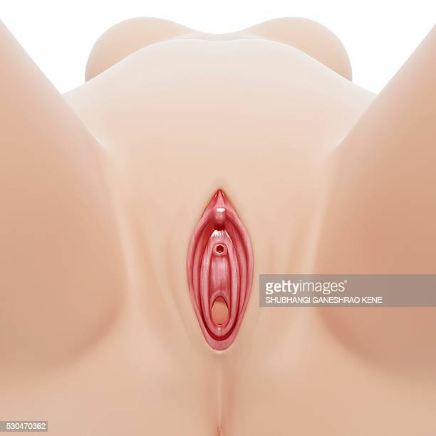 female genitals, computer artwork. - urethra stock pictures, royalty-free photos & images