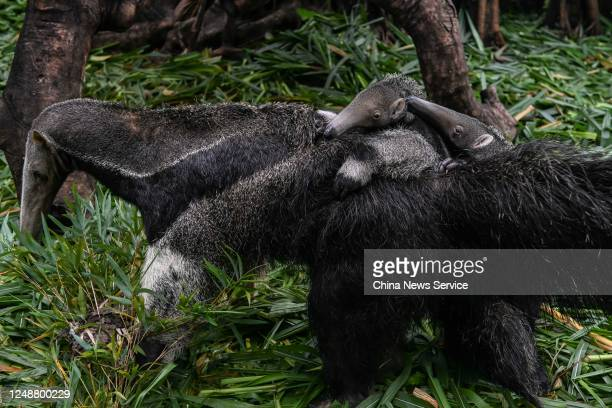 Female giant anteater and her three-month-old twin cubs are seen at Chimelong Safari Park on June 10, 2020 in Guangzhou, Guangdong Province of China.