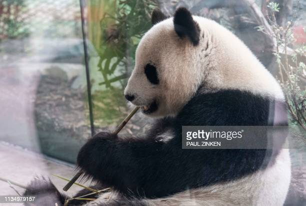 Female giant panda Meng Meng nibbles a bamboo twig on April 5, 2019 at the Zoologischer Garten zoo in Berlin. / Germany OUT