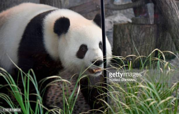 Female giant panda Meng Meng walks through her enclosure at the Zoologischer Garten zoo in Berlin on August 14, 2019. - As the zoo announced in a...